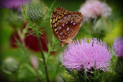 """""""Shenandoah Butterfly 2"""""""