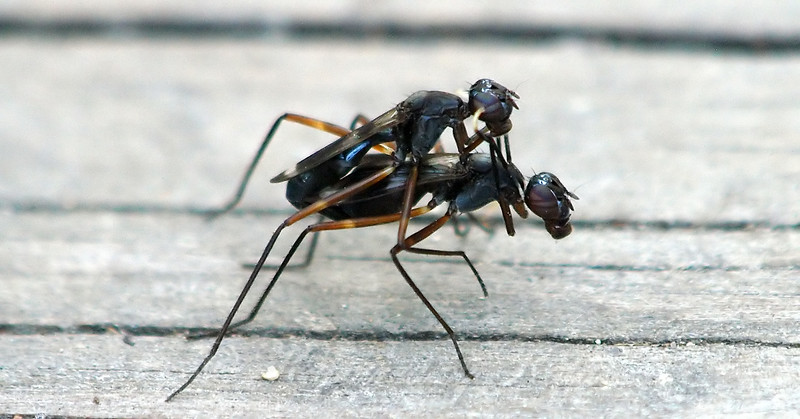 Complex Mating Rituals Of The Stilt-legged Fly  View 4