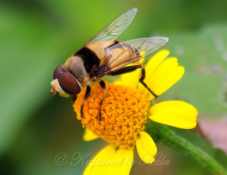 Pusilla Syrphid fly