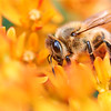 Honeybee In A World Of Orange