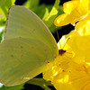 Young Male Cloudless Sulphur