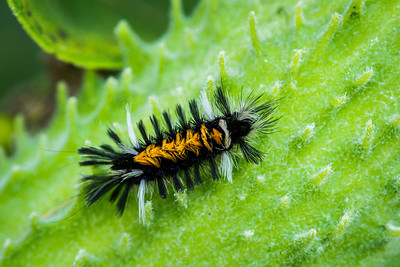 Milkweed Tussock Moth Caterpillar, Euchaetes egle