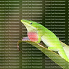 Green male anole lizard displaying his red dewlap as he sits on a green bromeliad leaf.