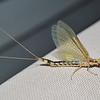 Giant Mayfly.