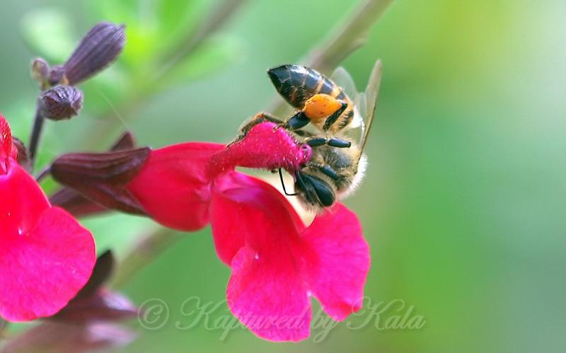 Pollinating Salvia