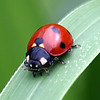 7-spotted Lady Beetle