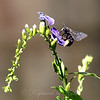 Carpenter Bee On Skyflower