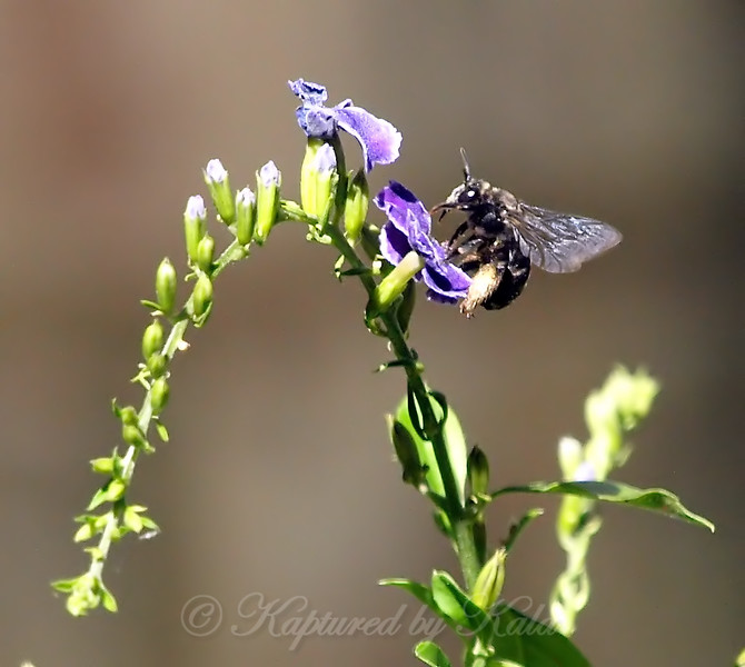 Bee On Skyflower