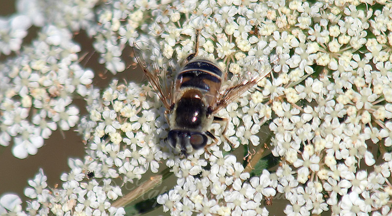 A New Flower Fly