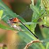 Rambur's Forktail Damselfly Eating A Moth