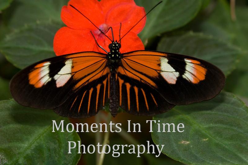 Tiger butterfly on orange