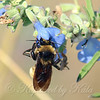 American Bumble Bee On Blue Sage