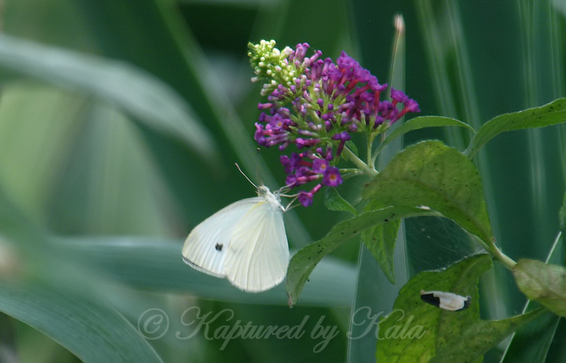 White Butterfly, Magenta Flowers