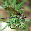 My First American Rubyspot Damselfly