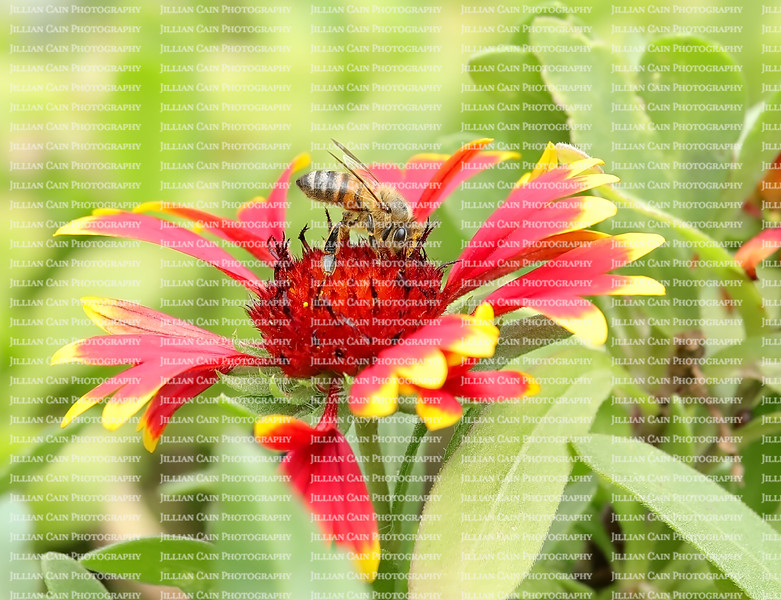 Busy honeybee collecting pollen and nectar from a red and yellow blanket flower.