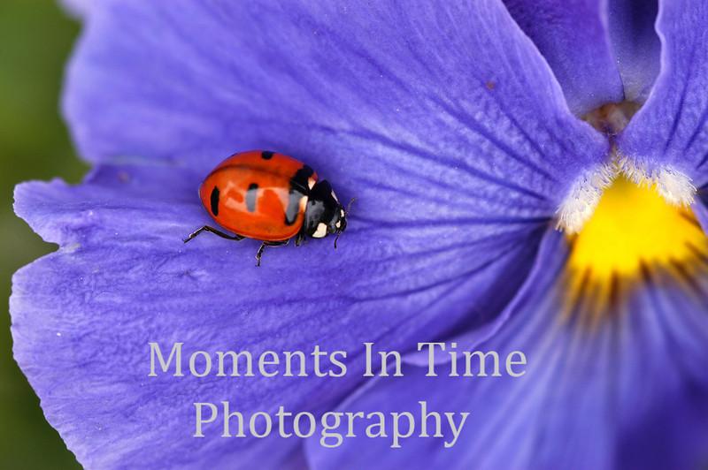 Best ladybug on pansy