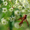 Red And Yellow Paper Wasp View 4