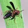 Metricus Paper Wasp View 1