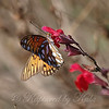 Gulf Fritillary On Raspberry Delight View 2
