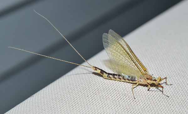 Giant Mayfly.