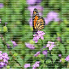 Monarch butterfly sits on a lantana flower and sips nectar with it's proboscis in a field of lantana flowers.