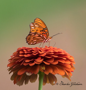 Gulf Fritillary in north Alabama