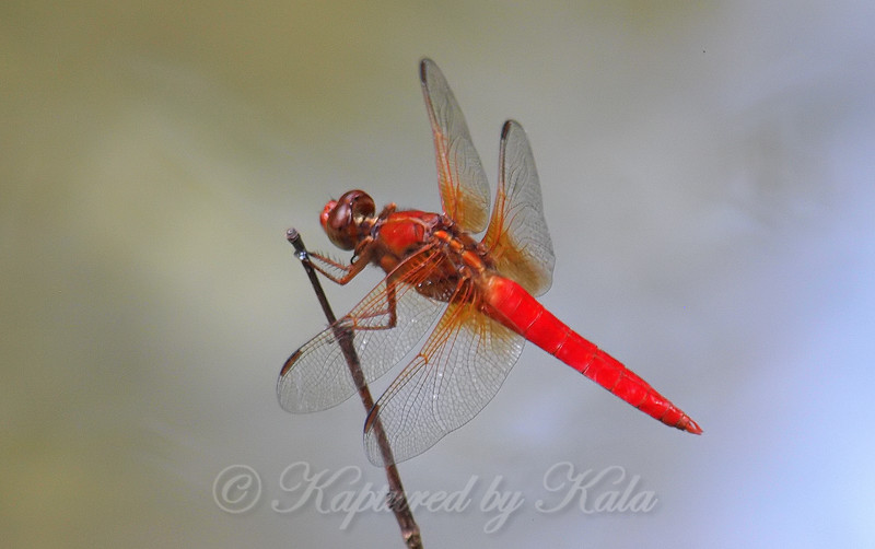 Neon Skimmer At The Nature Preserve