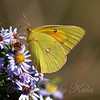 Orange Sulphur At The Heard