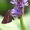 Broad-winged Skipper On Pickerelweed