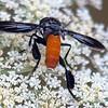 Orange Abdomen & Black Feathers