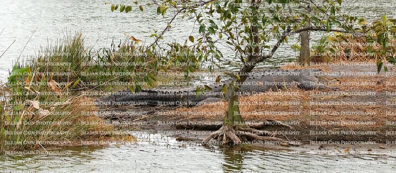 Gigantic alligator resting on it's own personal island at Wakodahatchee Wetlands in Delray Beach, Florida, USA.