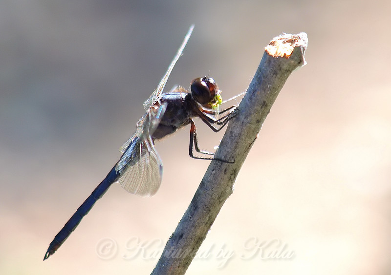 Male Slaty Skimmer With A Snack