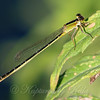 Female Rambur's Forktail Olive-form