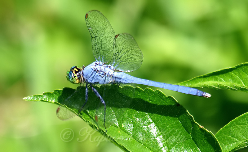 Rookery Pondhawk On Mulberry Leaf
