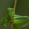 Bush Katydid