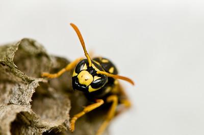 dominula (European Paper Wasp)