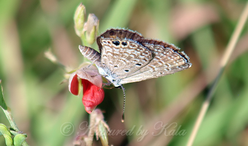 My First Ceraunus Blue Butterfly