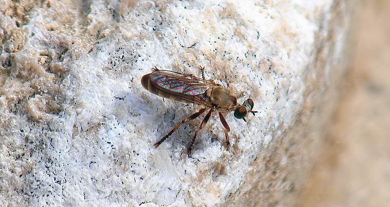 Tiny Little Robber Fly