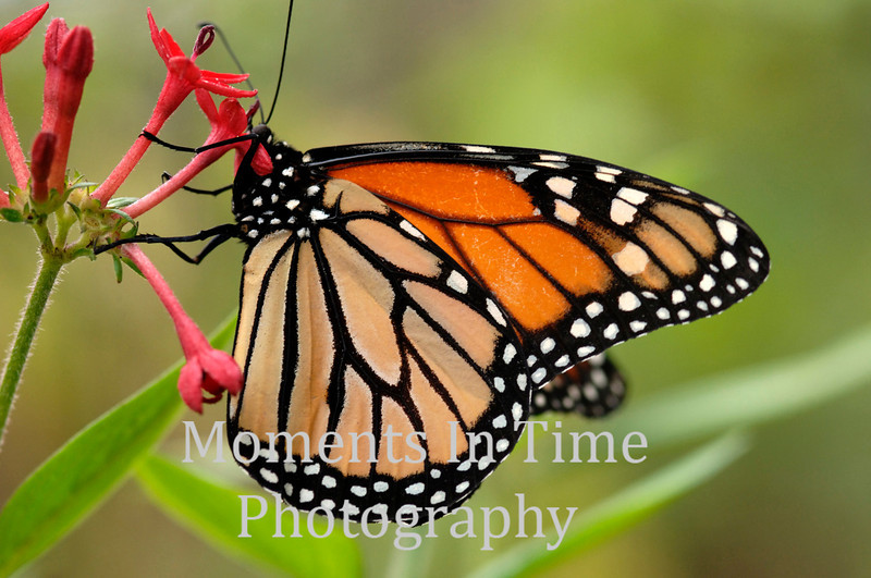 Monarch on red blossom