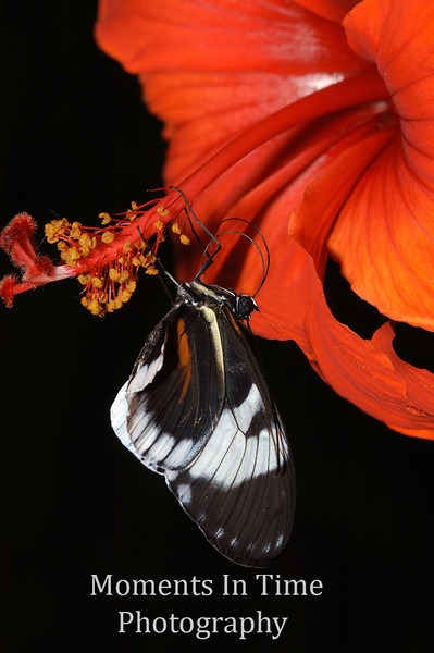 Butterfly on hibiscus stamen