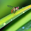 New Hover Fly