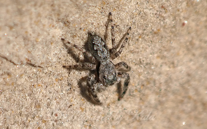Female Tan Jumping Spider View 1