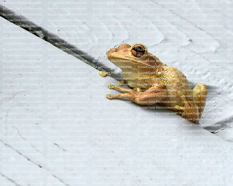 Cuban tree frog found hiding between slats of wood, with one foot up exposing the bottom toe pads.  Cuban tree frogs are considered an invasive exotic (non-native) species.
