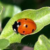 Close Up Of A Seven-spotted Lady Beetle
