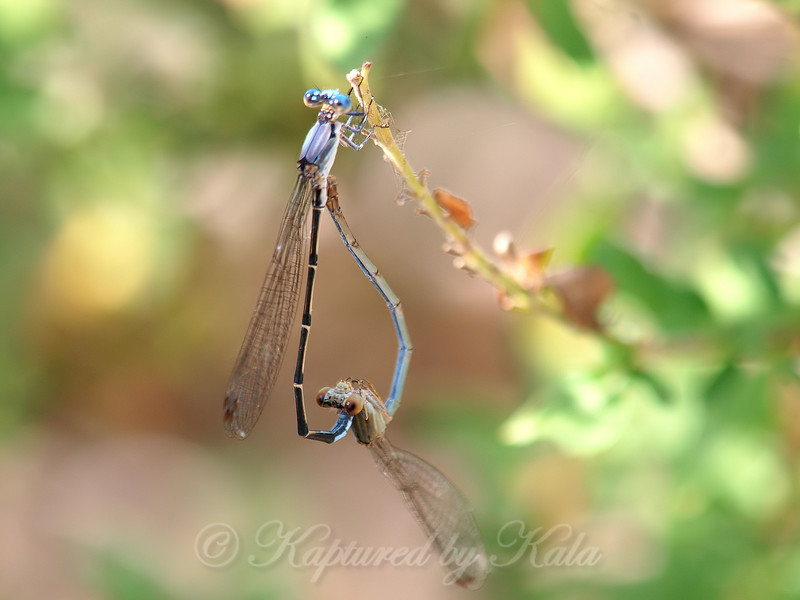 Male & Female Blue-fronted Dancers