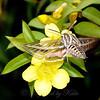 White Lined sphinx moth in Carolina Jessamine