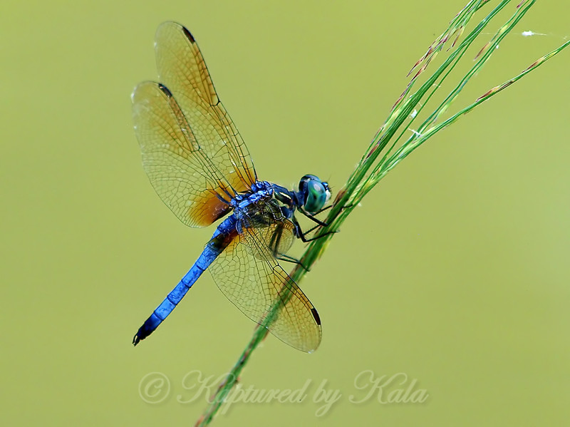 Blue Dasher On Grass Seed