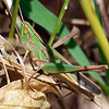 Well Camouflaged Grasshopper