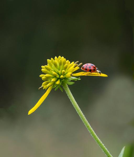 Ladybug on a crownbeard flower