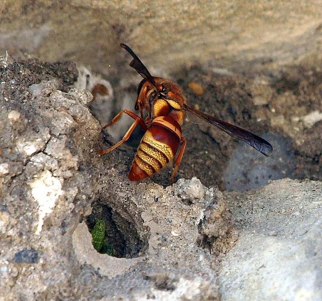 Potter Wasp And Prey